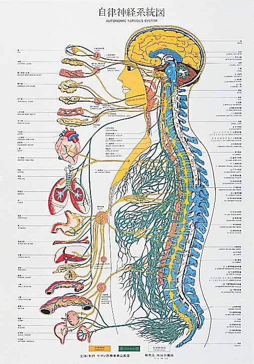 自律神経系統図 | 全医療器 10,000円以上のご購入で 送料無料! 会員様ポイント制 現在カ